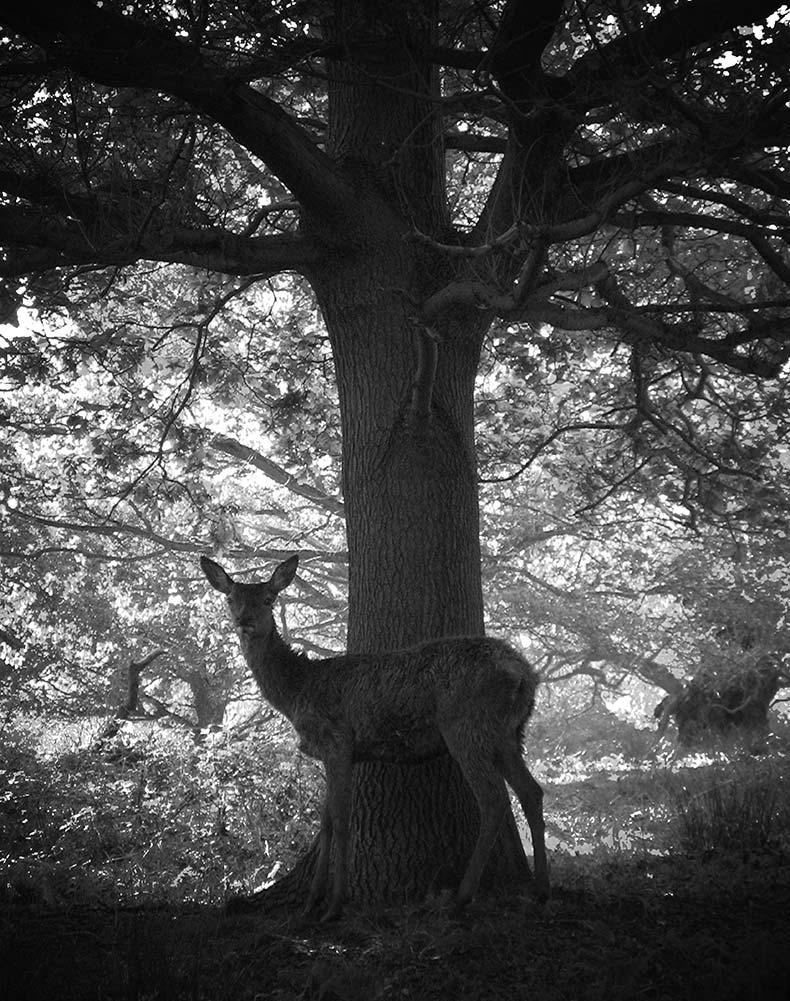 Deer-under-tree